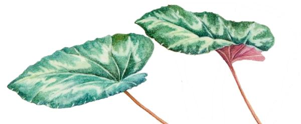 foglie di ciclamino selvatico dipinto acquerello Daniela Guido