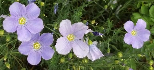 fiori di lino alpino