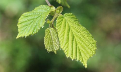 nuove foglie di nocciolo