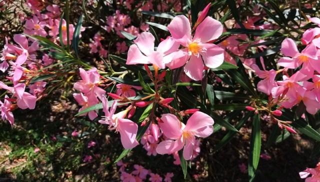 oleandri rosa in fiore