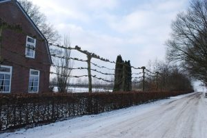 Pleached trees in Holland