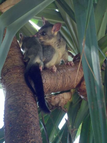 Brushtail-Possum-and-young in the Pandanus tree