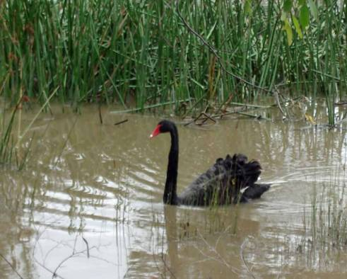 Birdwatching. Black-Swan-has a bright red beak and white tipped wing feathers.