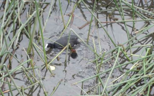 Wild Birds Eurasian Coot-with-Chick-