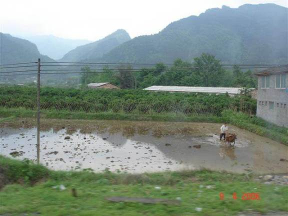Man and oxen plowing rice field Guilin countryside.
