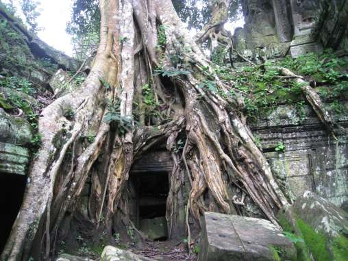 giant tree roots, collapsing and distorting temple ruins-Ta Prohm