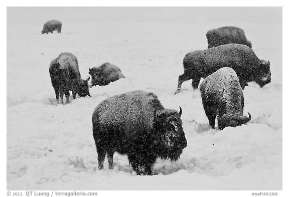Black and White Picture/Photo: Bison feeding in snow