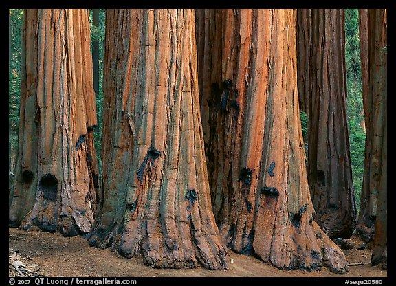 Sequoia (Sequoiadendron giganteum) truncs. Sequoia National Park, California, USA.