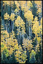 Aspens and evergeens on hillside, North Rim. Grand Canyon National Park ( color)
