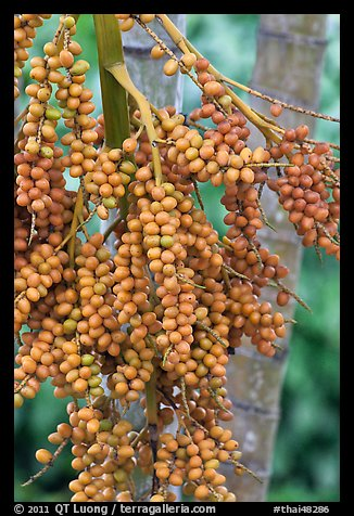 PicturePhoto Fruit on tree Krabi Province Thailand