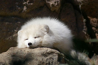 A super-cute arctic fox: too white and fluffy to use