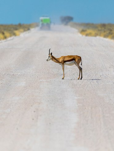 An antelope on a dirt road