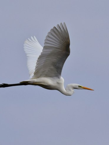 An egret flying in a grey sky