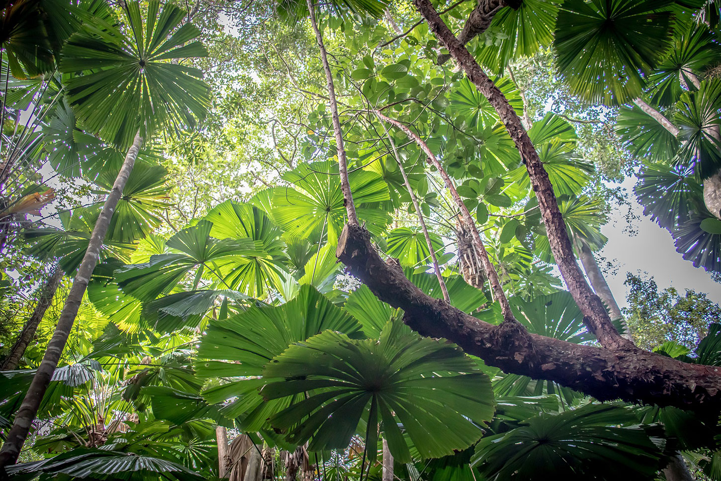 Canopy of the Daintree Rainforest