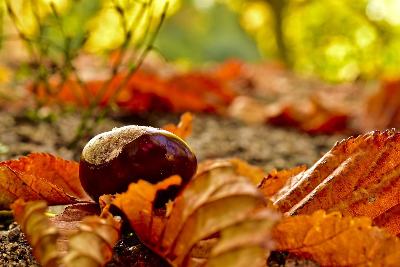 Buckeye (chestnut) on autumn forest floor