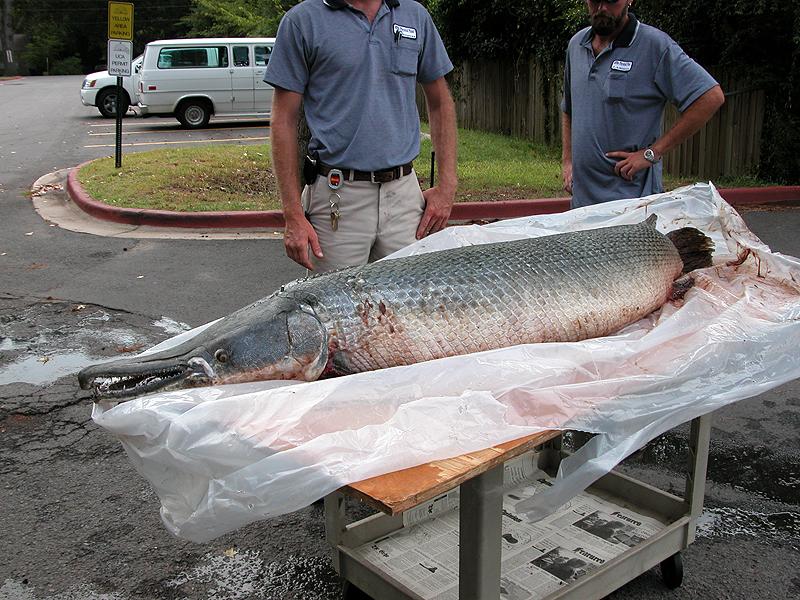 Seven-foot alligator gar