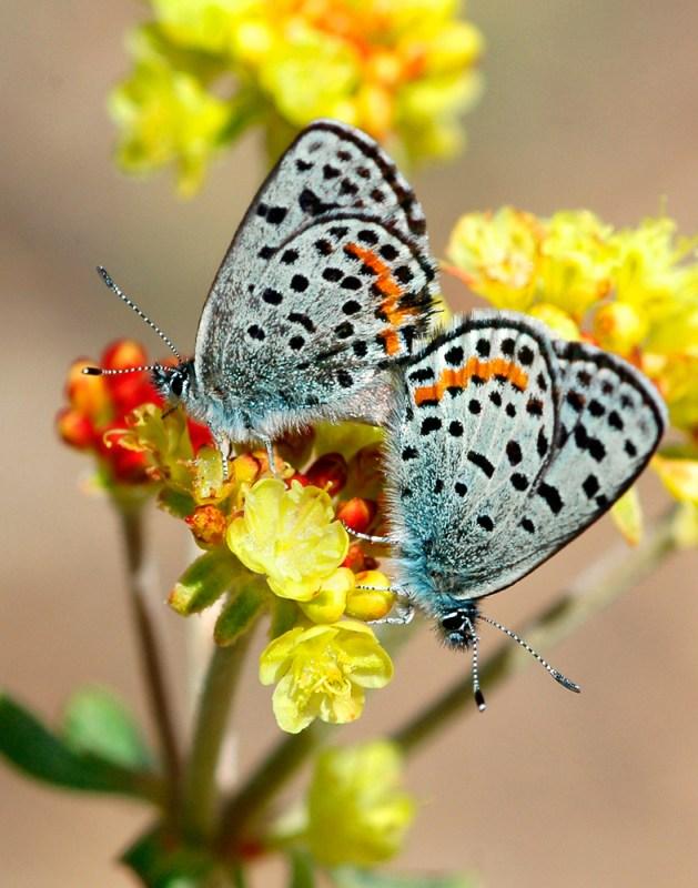 Acmon blue butterflies on buckwheat