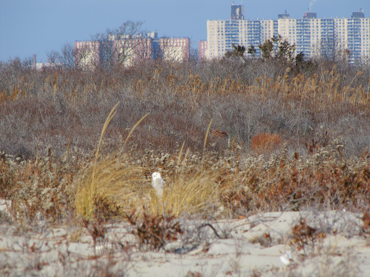 First snowy owl spotted