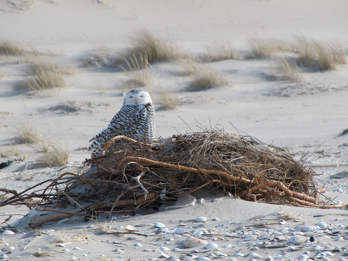 Snowy owl on groundcover