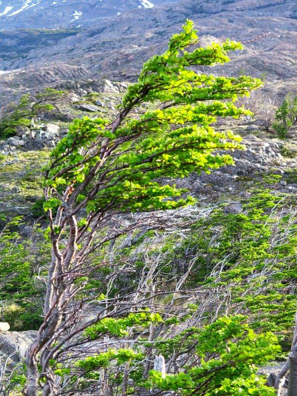 Windswept plant