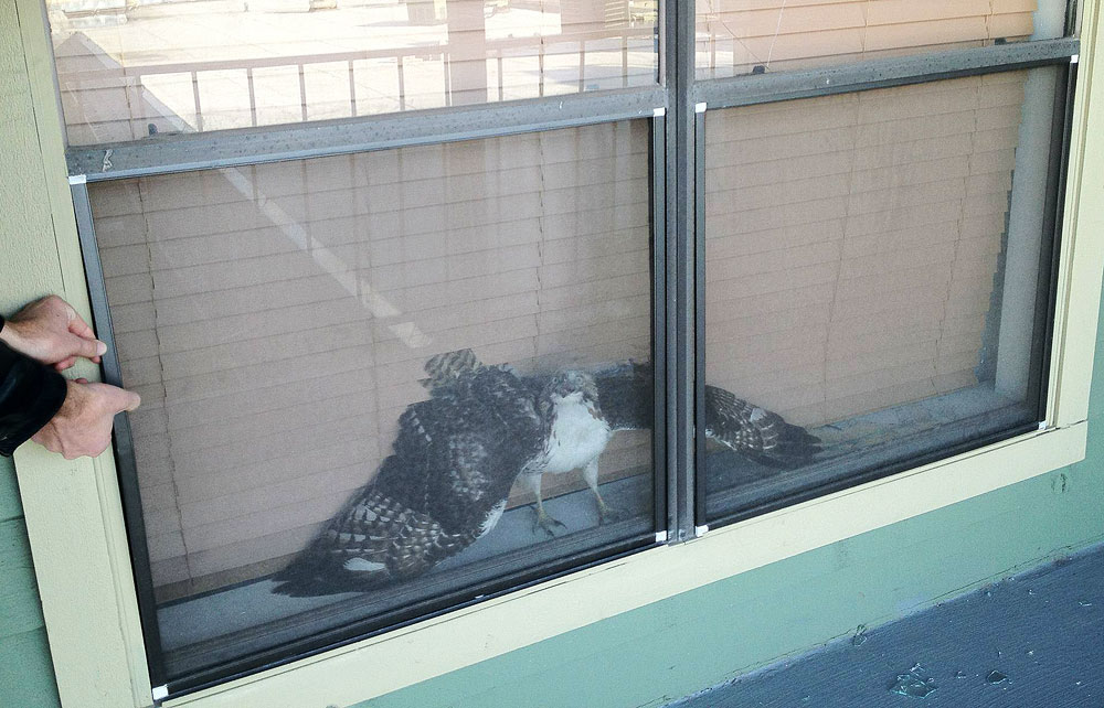 Red-tailed hawk trapped between window and screen