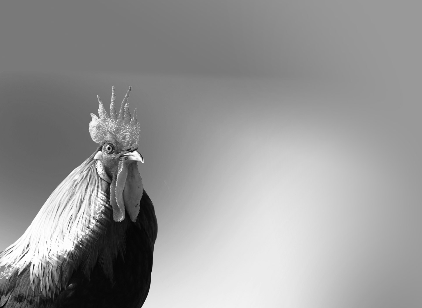 Eight Roosters, essay by Gina Warren