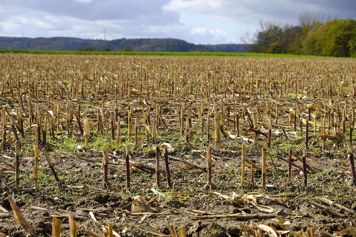Corn stubble