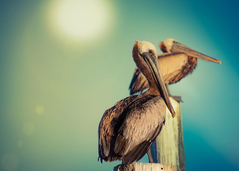 Pelicans, by Julian Hoffman