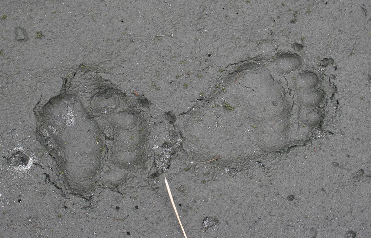Bear paw print and human footprint
