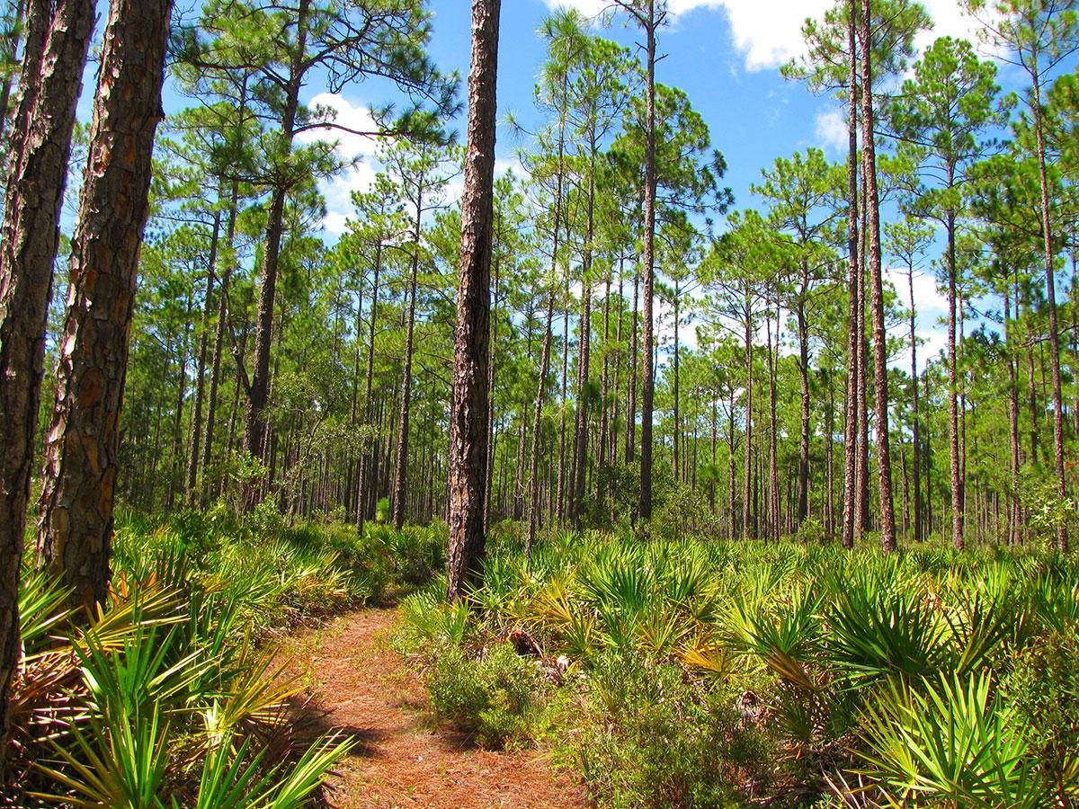 Trail through slash pine forest