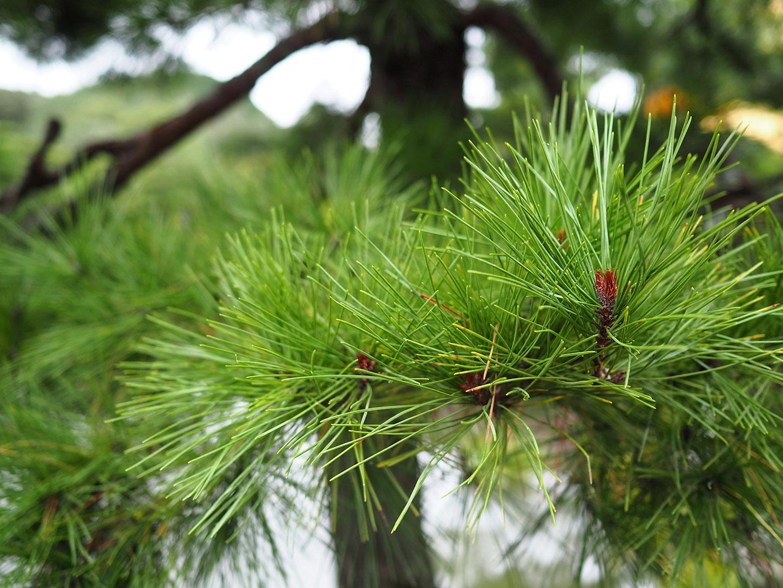 Slash pine needles