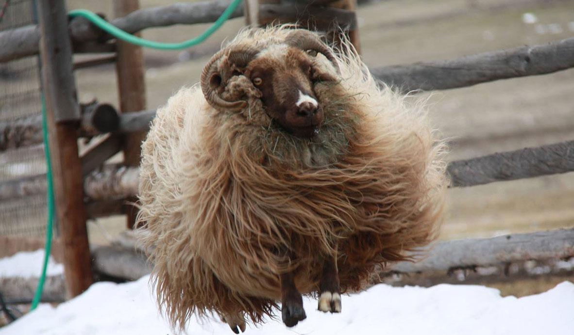 Jumping Icelandic ewe