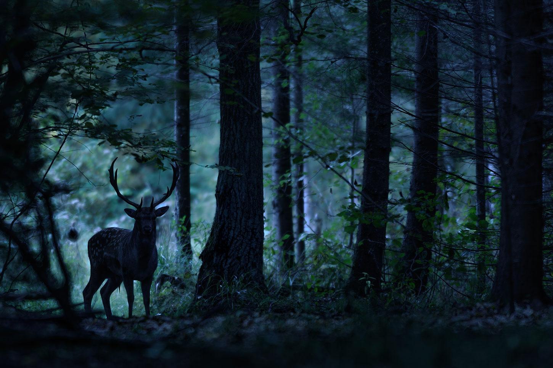 Deer silhouetted in dark woods