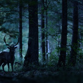 Deer silhouetted in dark woods