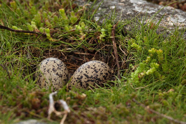 Oystercatcher eggs