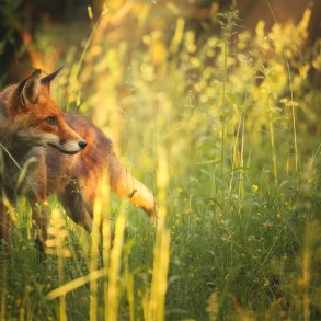 Fox in afternoon light