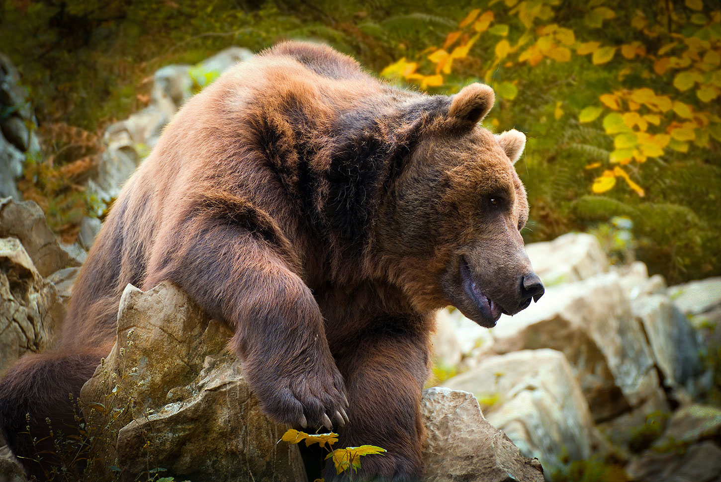 Cantabrian brown bear in autumn foliage