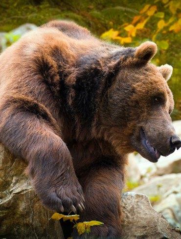 Cantabrian brown bear in autumn foliage