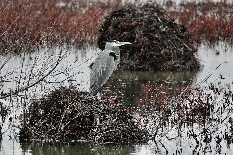 Great blue heron in winter, light snow