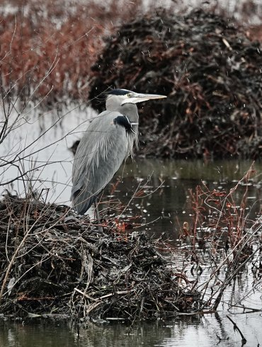 Great blue heron in winter, light snow