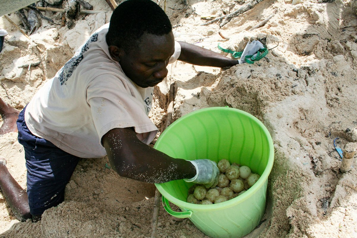 Placing sea turtle eggs in a bucket. Photo by Amy Yee.