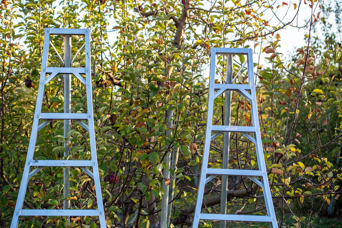 Ladders and apple trees
