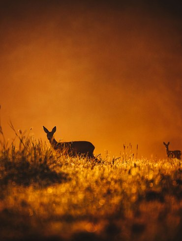 Deer in a field at sunset
