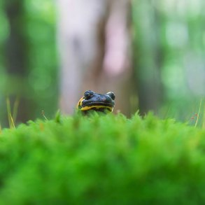 Salamander peeking over moss in forest