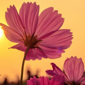 Pink flower with afternoon sunlight and sky