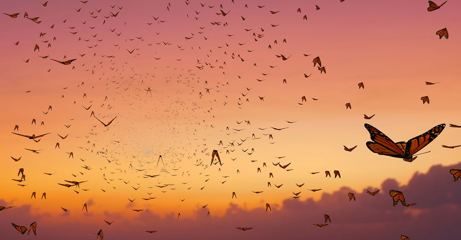 Monarch butterflies flying at sunset