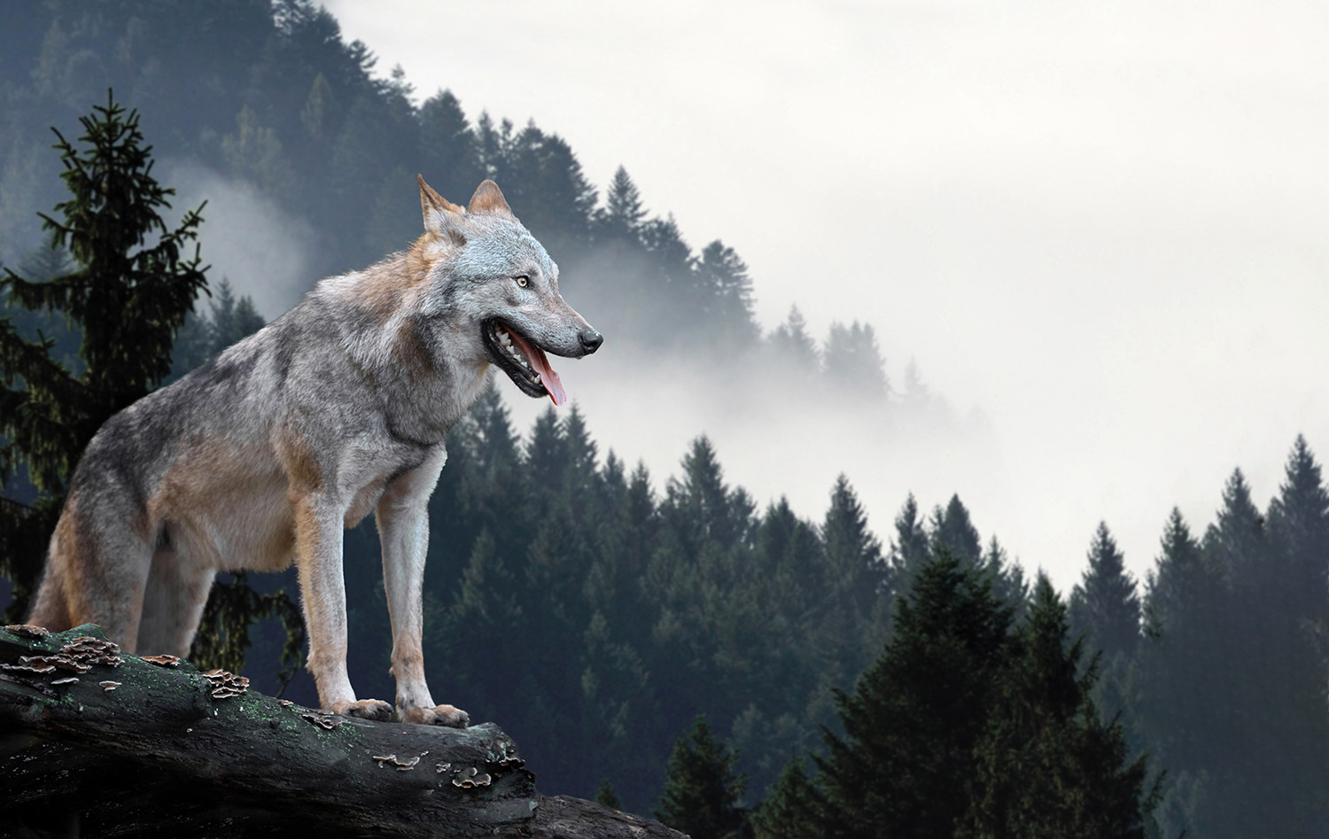 Wolf overlooking forest with mist