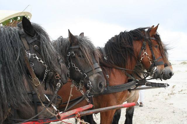 Tres equinos de la raza belga