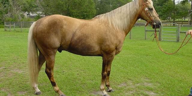 Características del caballo Palomino.