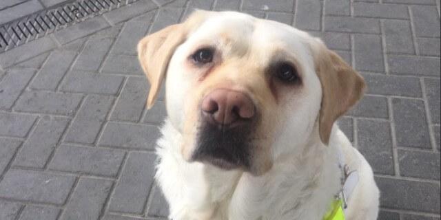 Kika, la perra guía de Amit Patel
